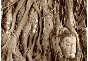Ayutthaya_head_tree