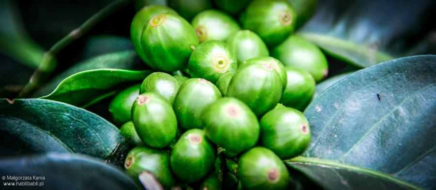 Habli Babli plantacja kawy